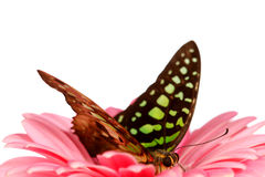 Graphium on gerber Royalty Free Stock Image