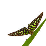 Graphium on grass Stock Photography