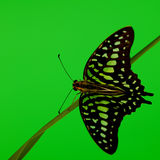 Graphium on grass Royalty Free Stock Photography