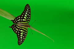Graphium on grass Royalty Free Stock Image