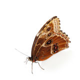 Graphium isolated Stock Image