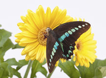 Graphium Milon Swallowtail Stock Photography