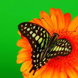 Graphium on orange gerber Royalty Free Stock Photography