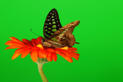 Graphium on orange gerber Stock Photo