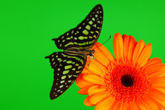 Graphium on orange gerber Royalty Free Stock Images