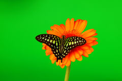 Graphium on orange gerber Royalty Free Stock Photo