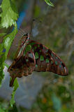 Graphium (Pathysa) antiphates Stock Image