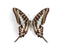 Graphium policenes (Kleine Gestreepte Swordtail) Royalty-vrije Stock Foto's
