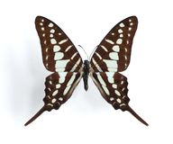 Graphium policenes (Small Striped Swordtail). On the white background Royalty Free Stock Image