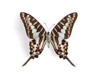 Graphium policenes (Small Striped Swordtail). (underside) on the white background Royalty Free Stock Photos
