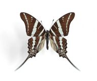 Graphium rhesus (Rhesus Swallowtail). On the white background Stock Photography