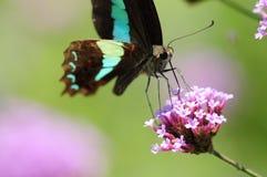 Graphium sarpedon sarpedon. A type of butterfly stock photos