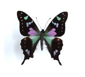Graphium weiskei (Purple Spotted Swallowtail). On the white background Royalty Free Stock Photography