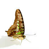 Graphium  Stock Images