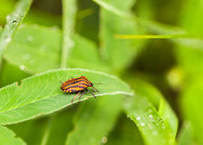 Graphosoma bug on grass Royalty Free Stock Images