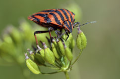 Graphosoma bug on plant Stock Photos