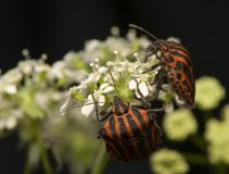 Graphosoma lineatum Royalty Free Stock Photos