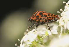 Graphosoma lineatum Stock Image