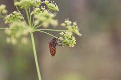 graphosoma lineatum Zdjęcie Royalty Free