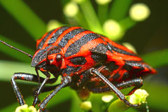 Graphosoma Lineatum Royalty Free Stock Photography