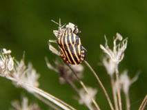 Graphosoma lineatum 图库摄影