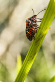 Graphosoma lineatum on blade of grass Stock Images