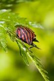 Graphosoma lineatum bug Royalty Free Stock Photos