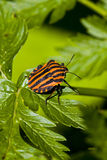 Graphosoma lineatum bug Stock Photo