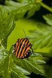 Graphosoma lineatum bug Stock Photography
