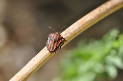 Graphosoma Lineatum - Chinche Rayada stock photography