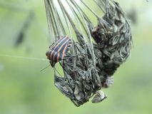 Graphosoma lineatum Royalty Free Stock Photo