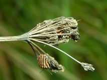 Graphosoma lineatum Stock Images