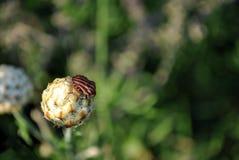 Graphosoma lineatum gatunki osłony pluskwa, włoszczyzna paskowali pluskwy lub minstrel pluskwy na pączku żółty chabrowy Obrazy Royalty Free