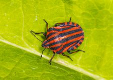 Graphosoma lineatum Stock Photo
