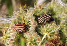 Graphosoma lineatum or Italian Striped-Bug G. italicum Royalty Free Stock Photography