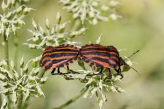Graphosoma lineatum, Italian Striped-Bug, Minstrel Bug Stock Photos
