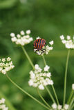 Graphosoma lineatum Royalty Free Stock Image