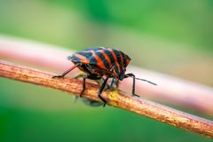 Graphosoma lineatum in a plant branch. Macro photo Royalty Free Stock Photography