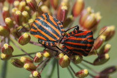 Graphosoma lineatum on plants in the summer garden Stock Images