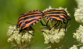 Graphosoma lineatum, Red & Black Striped Stink Bug Stock Photography