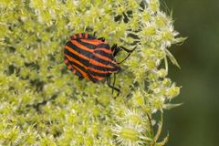 Graphosoma lineatum, Shield bug from Lower Saxony, Germany Royalty Free Stock Image