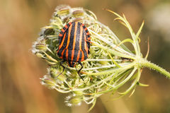 Graphosoma lineatum, Shield bug from Lower Saxony, Germany stock images
