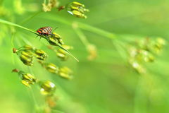 Graphosoma lineatum in a spring morning light stock image