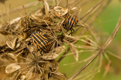 Graphosoma lineatum striped bugs in dry forest. Striped bugs travel on dry grass stems Macro Royalty Free Stock Image