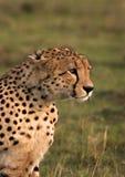 Égrappage de guépard Image libre de droits