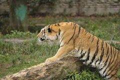 Égrappage de tigre Photo stock