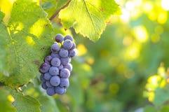 Grappe para el vino rojo Fotos de archivo