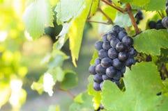 Grappe pour le vin rouge Images libres de droits