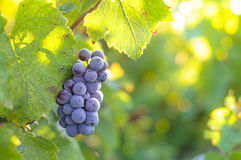 Grappe for red wine Stock Photos