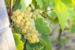 Grappe voor witte wijn Stock Fotografie
